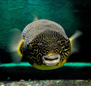 Mbu Pufferfish Belle Isle Aquarium